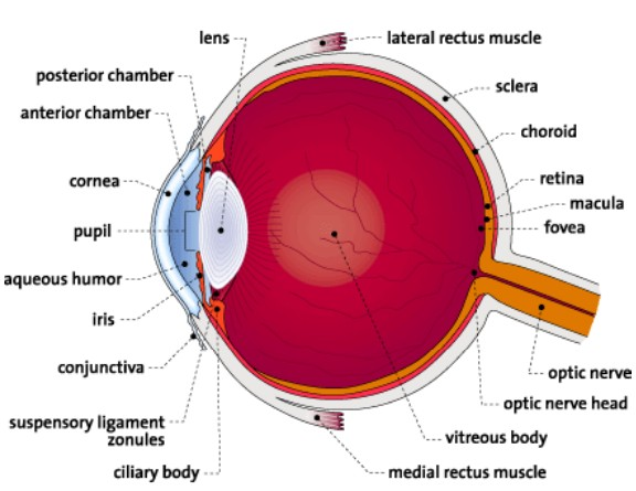 distinguish between myopia and hyperopia and Click here 👆 to get an answer to your question ️ some people have nearsightedness (myopia) and farsightedness (hyperopia) because the distance between their _.
